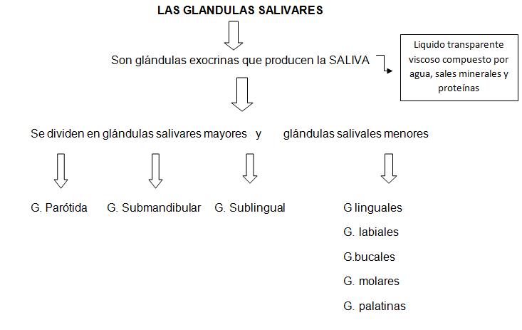 digestivouq: LAS GLANDULAS SALIVARES por Natalia Bravo Florez