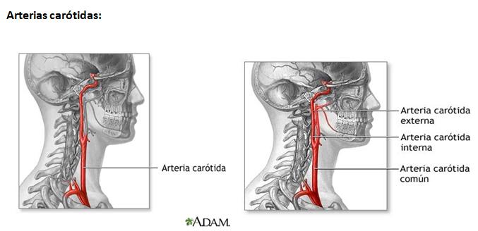 enfermeriauq: Arterias del cuello por Viviana Bedoya