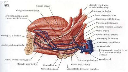 digestivouq: La lengua por Camila Zambrano Morales