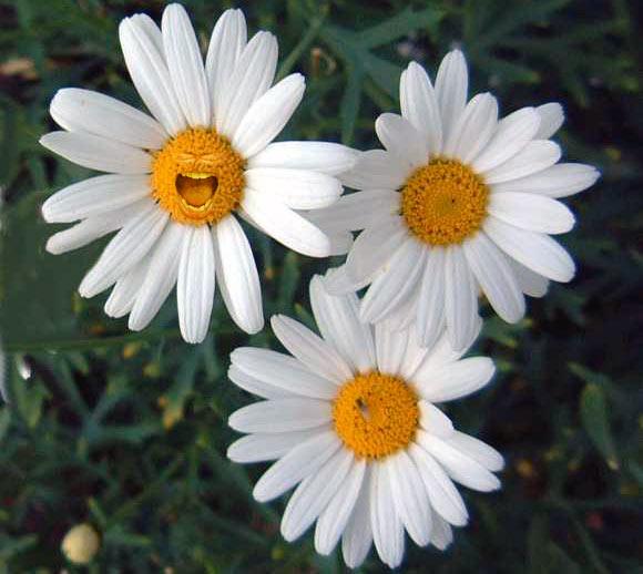 http://1.bp.blogspot.com/_ZD-0A-ewlWA/S7VoQx82PwI/AAAAAAAAAvA/kIDbLega6i0/s1600/daisies.jpg