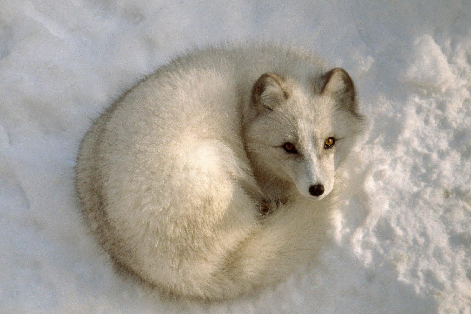 wallpaper : winter fox