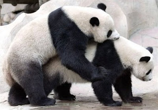 Lin Hui and Chuang Chuang Panda hopeful of baby