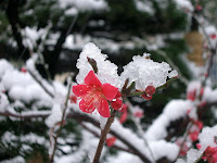 Flowers covered with snow and ice in 早稲田 (Waseda)
