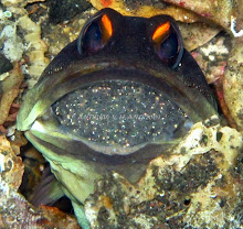 JAW FISH WITH EGGS IN ITS MOUTH