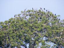P. Rambut - Kerajaan burung