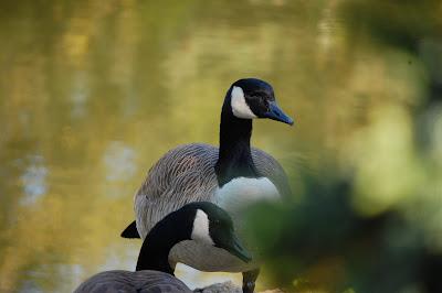 broody geese, Sun Yat Sen Gardens, Strathcona