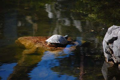 Red Slider Turtle, Sun Yat Sen Gardens, Strathcona, Vancouver, BC