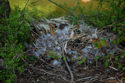 goose nest at Sun Yat Sen Gardens