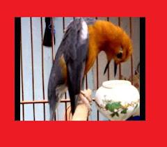 Anis Merah Bird