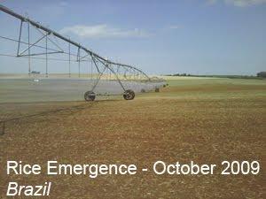rice emergence Brazil
