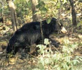 bear sanctuary ratanmahal jessore gujarat
