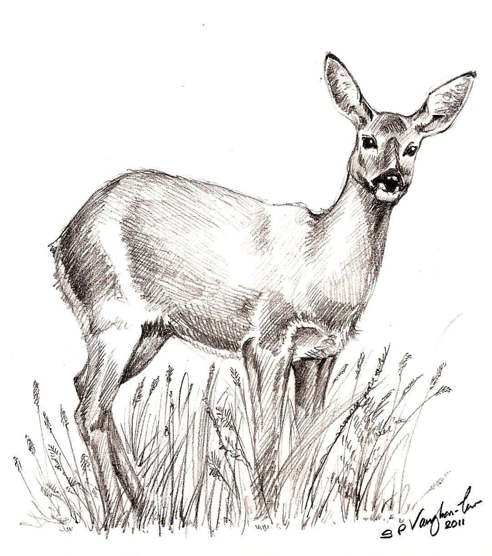 deer drawings - photo #46