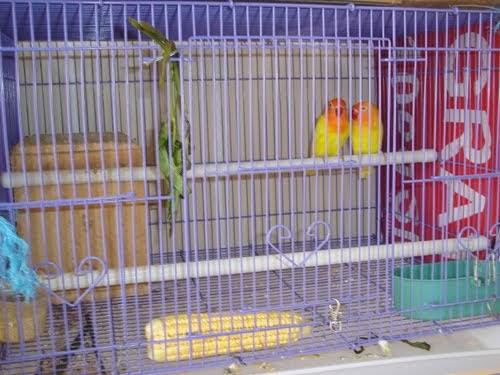 perlengkapan penangkaran lovebird