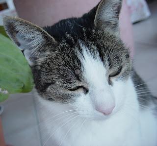 Katze mit Zecke