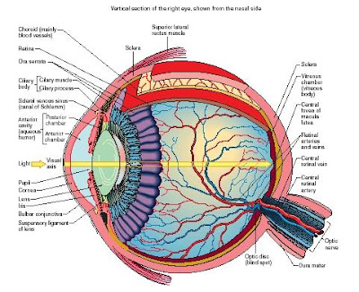 On radiology human eye anatomy diagram human eye anatomy diagram ccuart Image collections