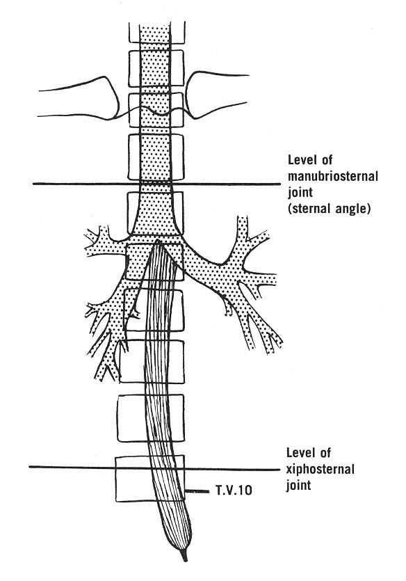 Doctors Gates: Trachea and Esophagus in relation to vertebral and ...