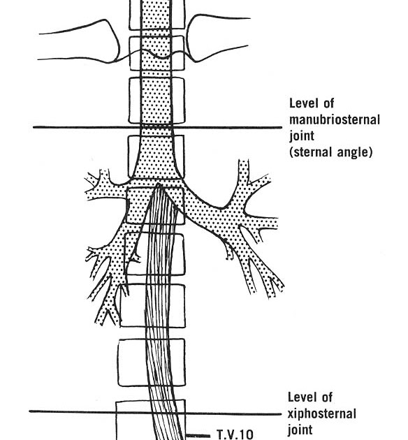 doctors gates  trachea and esophagus in relation to