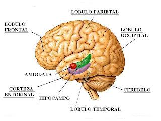 Esquema del cerebro. Propiedad de depresiones.cl