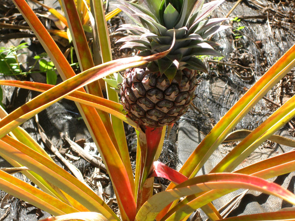 Another bright idea national tropical botanical garden - Conservation ananas coupe ...