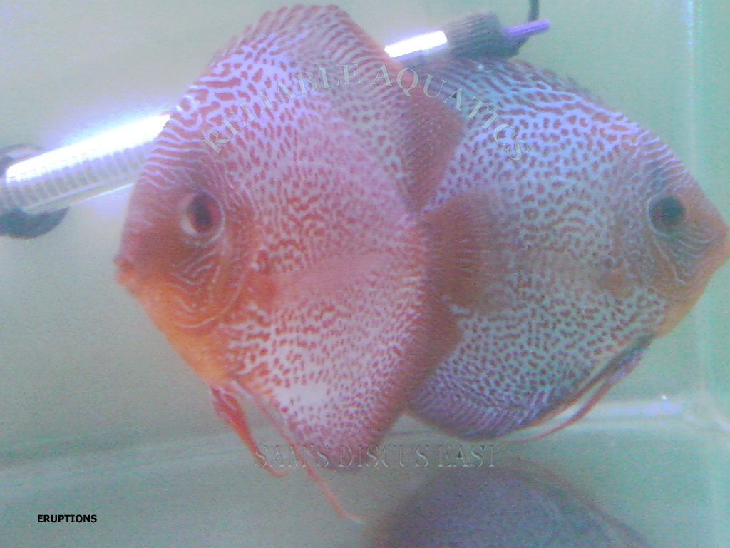 Breeding pairs our discus breeding pairs for Keeping discus fish