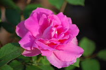Katy Road Pink Rose