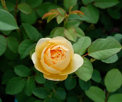 jeannie 39 s fairy rose louisiana garden the lovely graham. Black Bedroom Furniture Sets. Home Design Ideas