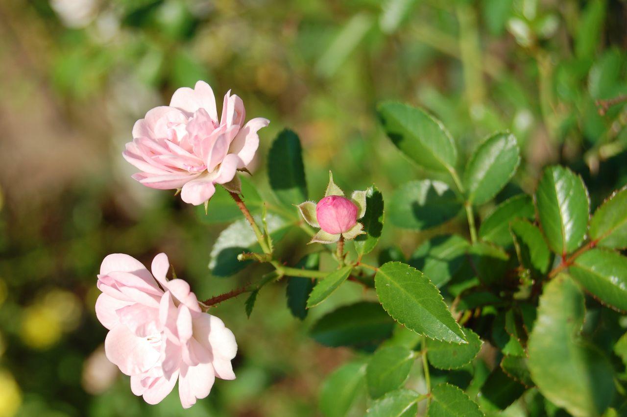 Jeannie 39 S Fairy Rose Louisiana Garden October Flowers