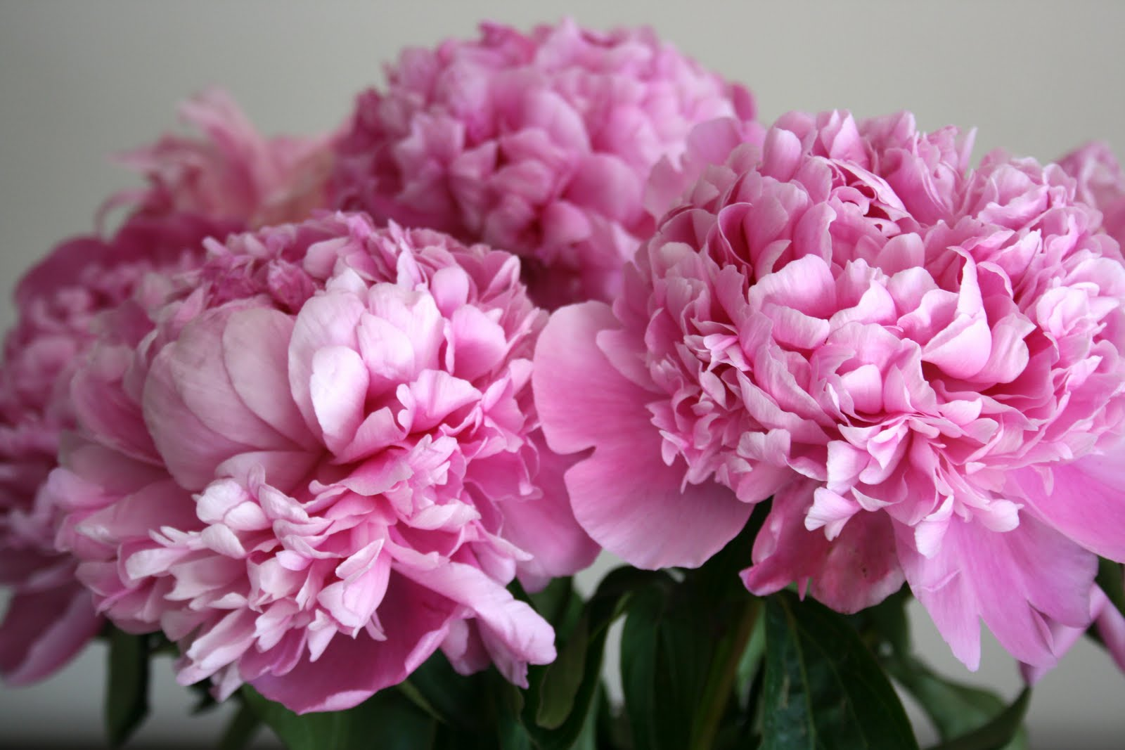 stephmodo: Peonies at Costco