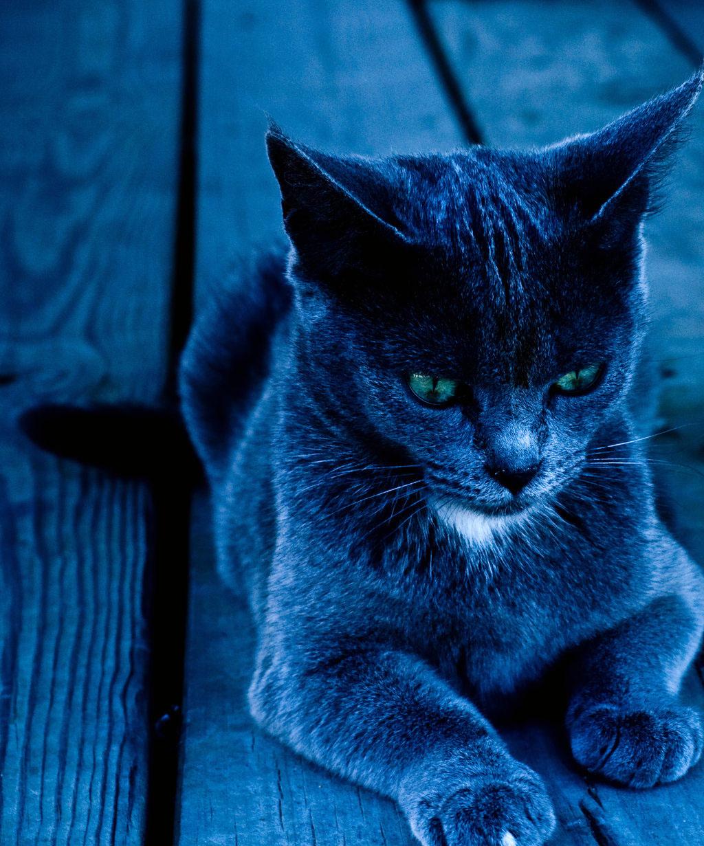 http://1.bp.blogspot.com/_ZcDP5ny1XLA/TG9NqcGWR4I/AAAAAAAACHE/u1r4jvbaw4U/s1600/elegant-cat-posing-blue-scene-picture.jpg