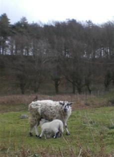 British sheep and lamb