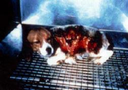 Painful experiment on dog