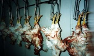 Chickens being slaughtered