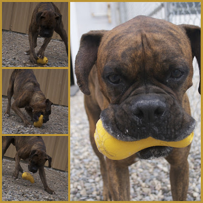 dozercollage How to keep a Boxer Happy....