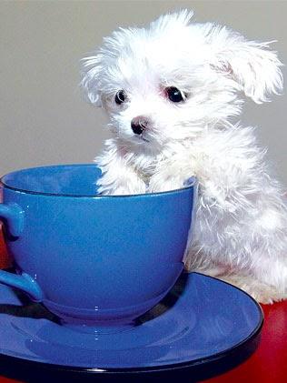 Hondsdol de kleinste hond ter wereld - Tafel stockholm huis ter wereld ...