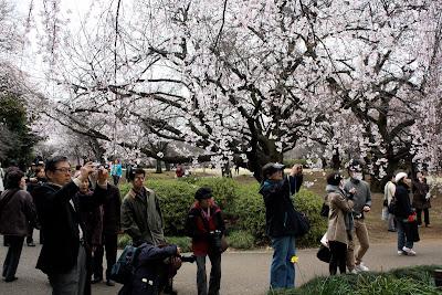 Sakura cherry blossom Tokyo Shinjuku