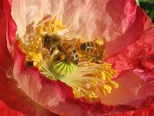 Jen's Bees on a poppy