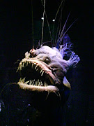 The lovely lady angler fish.