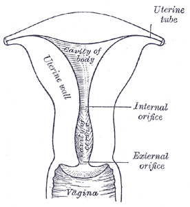 Alabama fertility update bicornuate or septate uterus part 1 the fallopian tubes uterus cervix and upper vagina begin development as two parallel tubular structures these are the mullerian ducts ccuart Images