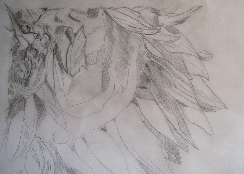Sunflower Line Drawing : Artbycrain: pats sunflower~wip