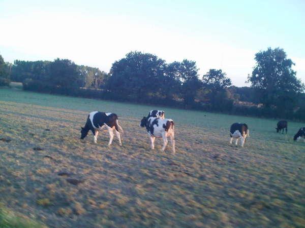 vaches au coucher du soleil