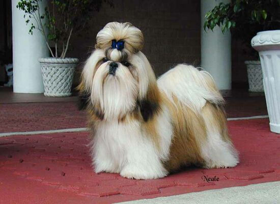 The Shih Tzu Is Slightly Longer Than Tall And Dogs Ideally Should Carry Themselves With Distinctly Arrogant Carriage A Very Noticeable Feature