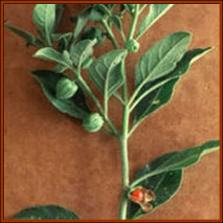 Withania somnifera or Ashwagandha