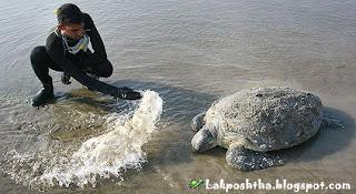 نجات لاكپشت 200 كيلويي در ساحل بندرعباس