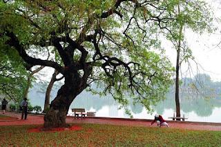 Loc vung's bloom season on the Hoan Kiem lake - the beauty of Hanoi city