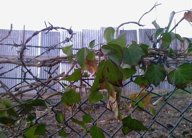 IVY AND CORRUGATED FENCING