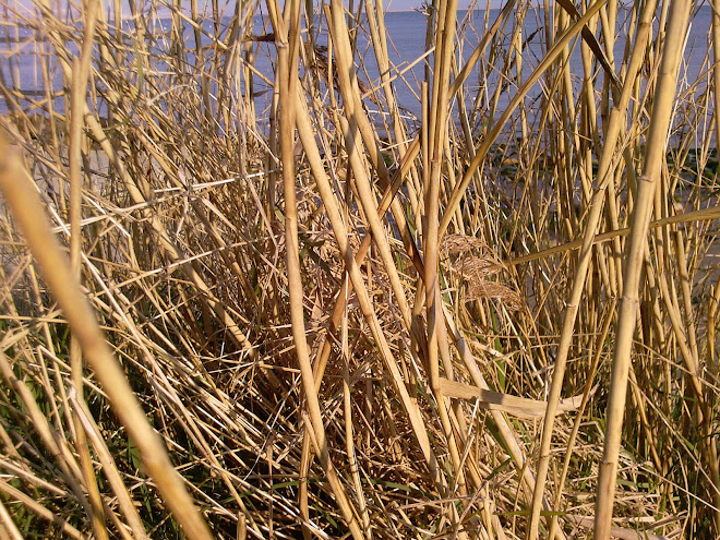 THE STEMS OF REEDS IN MARCH