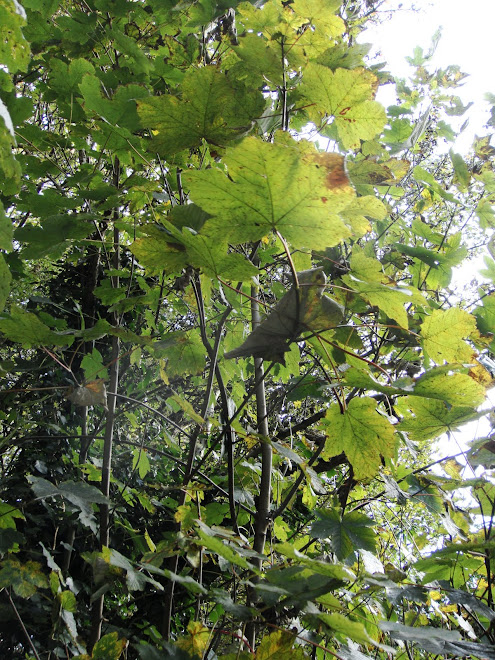 YOUNG SYCAMORE LEAVES ON THE TURN