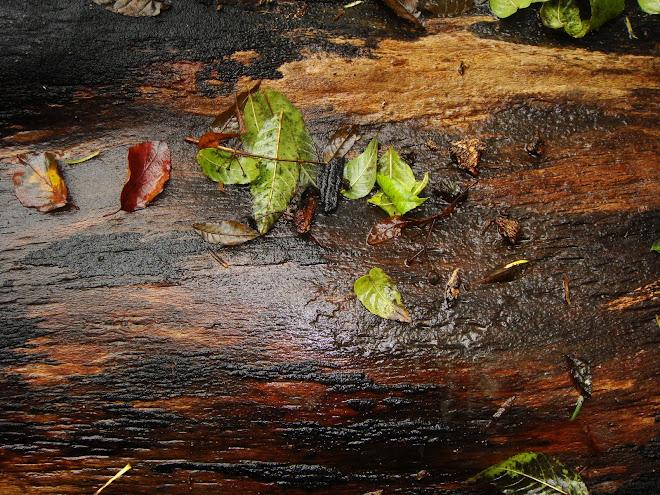 RAIN ON FELLED TREE