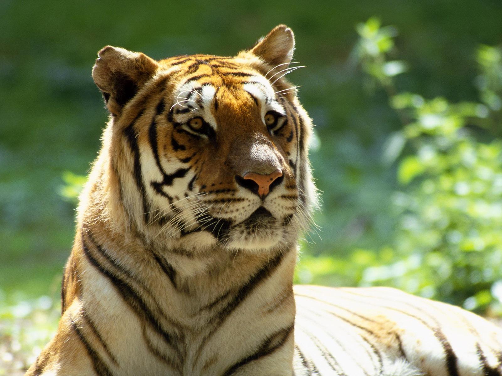 http://1.bp.blogspot.com/_Zw41kxI2akg/S6zxZ8_PjsI/AAAAAAAACEE/lPA3yNT8laQ/s1600/Animale+Tigru+.jpg