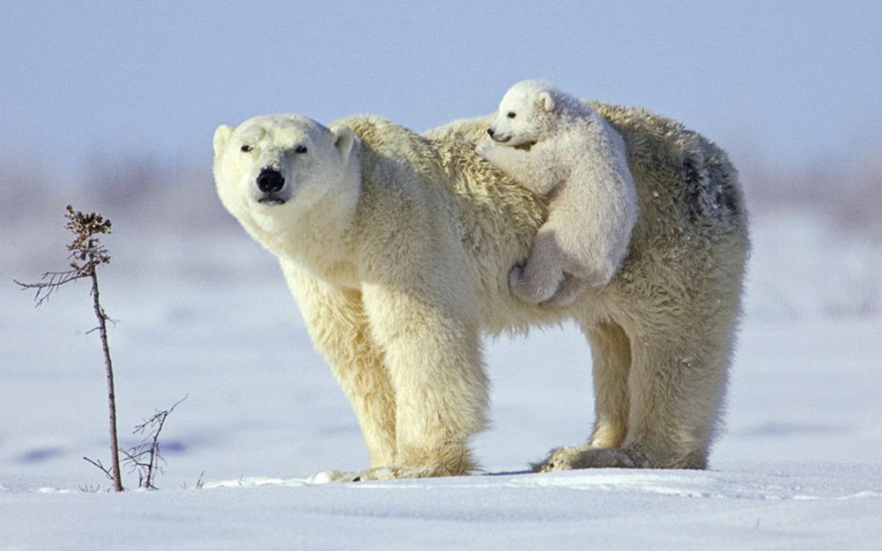Vienkārši jaukas, skaistas un interesantas bildes par jebko - Page 2 Ursi_polari-iarna+(1)